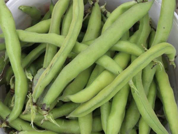 Баклата е бобово растение, чиито зърна и шушулки наподобяват тези
