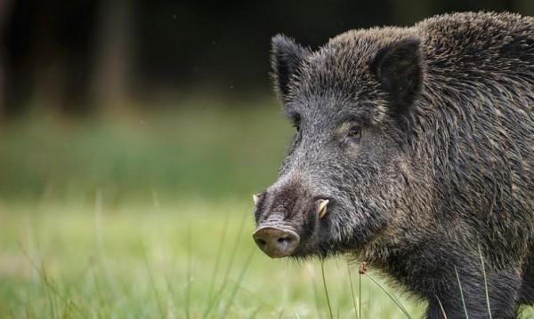 Удължават до 16 февруари срока за лов на дива свиня