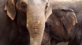 Слонове избягаха от цирк в Русия, за да си поиграят в снега