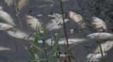 Стотици мъртви риби в река Марица