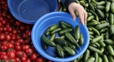 Грийнпийс установи: Доматите и чушките от Турция пълни с пестициди