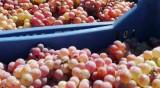 5000 лв. глоба за фирма, водила гроздоберачи във Франция