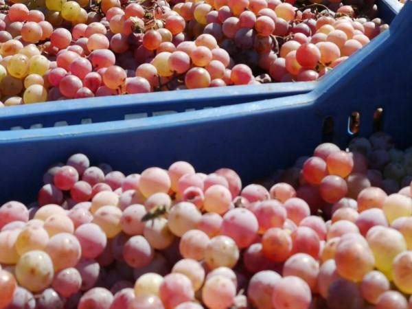 Шуменска фирма, посредничила на 82-ма гроздоберачи да спечелят пари във