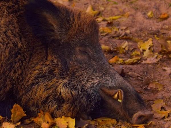 Нова положителна проба за Африканска чума по свинете е установена