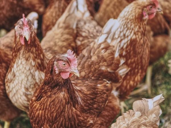 Неизвестни откраднаха мъртви пилета от метален контейнер за екарисаж от