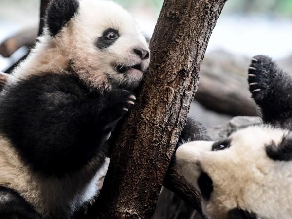 Бебетата панди близнаци, които се родиха в Берлинския зоопарк на