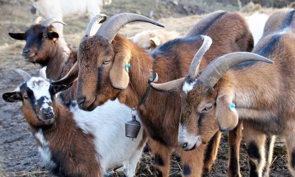 Нагли апаши задигнаха 110 кози от ферма в Сливенско