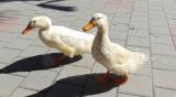 Убиват 6000 патици в Раковски, птичи грип застрашава 300 000 пернати