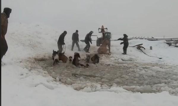 Спасиха коне от сигурна смърт в ледено езеро
