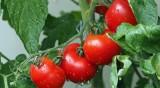 Домати и чушки чисти от кафяво набраздяване по плодовете