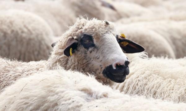 "Между блоковете в ""Столипиново"" се появи кошара за овце"
