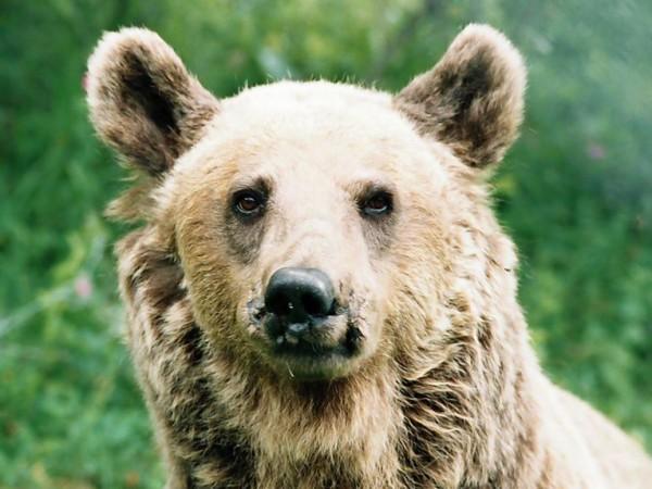 Един от дългогодишните обитатели на Парка за танцуващи мечки край
