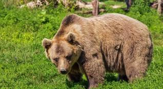 Мечките са будни, нападат животните на село в Родопите