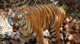 Тигрица се е заразила с коронавирус от служител на зоопарк?