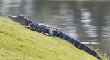 Колко е социалната дистанция? Във Флорида: Поне 1 алигатор!