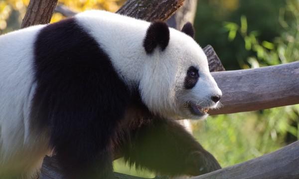 Заради карантината: Панди се чифтосаха за пръв път от 10 г.