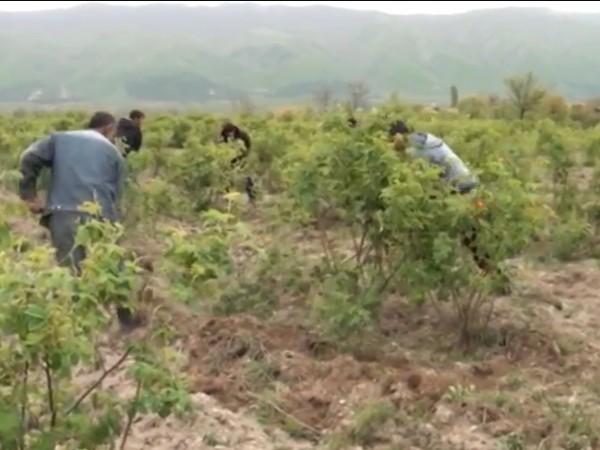 Розопроизводителите са притеснени от предстоящата кампания по прибиране на реколтата.