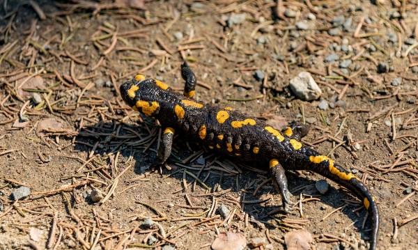 Саламандрите са съществували преди 230 млн. години