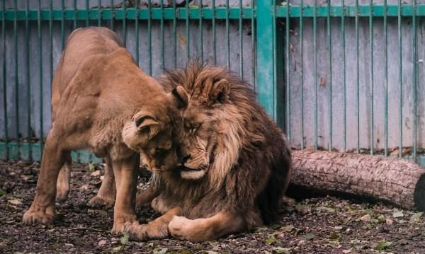 Лъвовете Любо и Ева започват строга диета