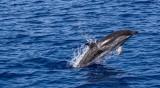 Морето изхвърли два мъртви делфина край Созопол