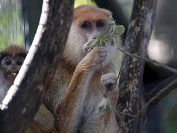 """Маймуни, които влизат """"с взлом"""" и открадват малко храна, не"""