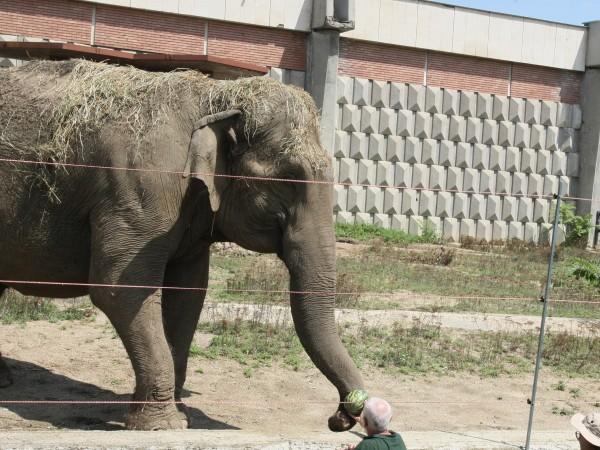 Индийската слоница Артайда, която е символ на Софийския зоопарк, днес