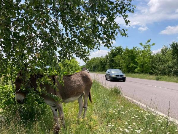 Безстопанствено магаре, завързано от безразсъден стопанин край главният път Казанлък-Стара