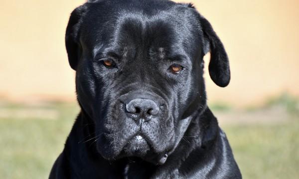 Защо наричат Кане Корсо кучето на италианската мафия?
