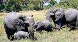 Стотици слонове измират мистериозно в Ботсвана