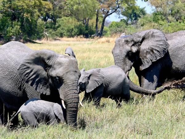 Стотици слонове са починали мистериозно в делтата на река Окаванго