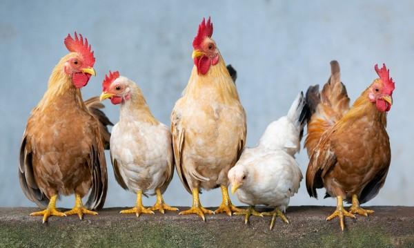 Умъртвяват 174 000 кокошки в Асеновград заради инфлуенца
