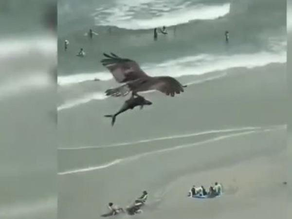 Видео на орел, сграбчил акула на плаж в американския щат