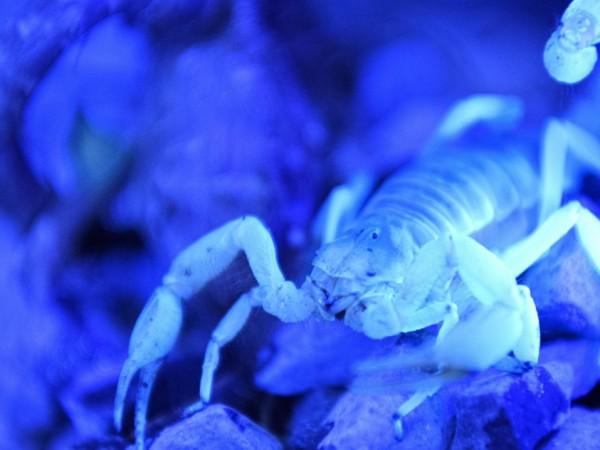 Молекулярни биолози приспособиха молекули на отровата на скорпион за лечение