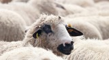 Шофьор прегази стадо овце, а пастирът оцелял по чудо