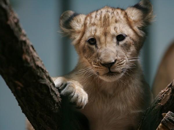Миналата седмица две лъвчета неочаквано се родиха в зоопарка в