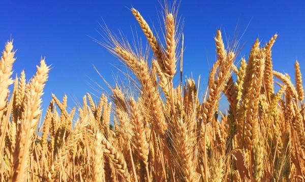 Спад с 30% на добивите от пшеница, цената на тон около 300 лева