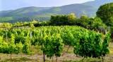 Дават 2 млн. лева на лозарите, за да не си продават гроздето и виното
