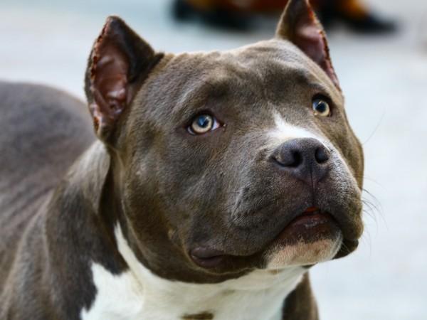 Питбул нападна и уби друго куче пред погледите на деца