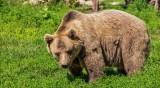 Само за месец мечки са убили 8 говеда и овце в Смолянско