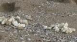 Мазни топчета продължават да изплуват по Черноморието ни