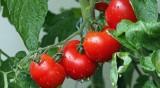 Спад на добивите от домати с 36,9%, на чушките с 25,4%