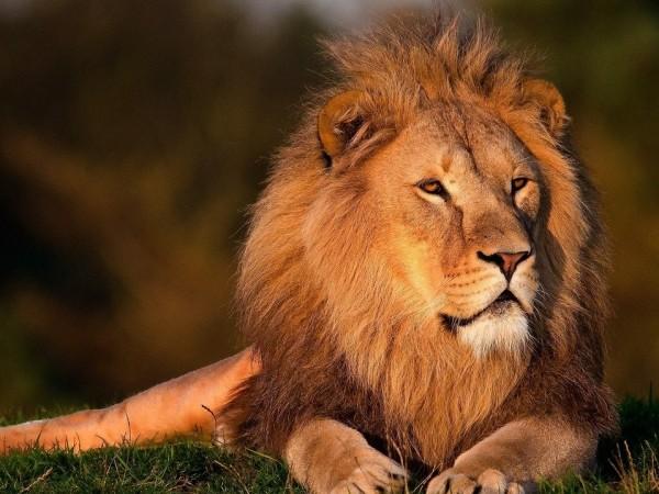 Лъвовете са символ на гордост и сила, но са в