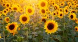 Суховеят прегори масивите със слънчоглед и царевица в Добричко