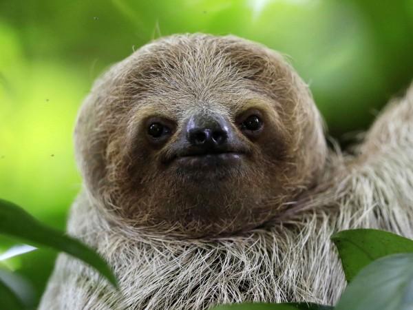 Паула, която е най-възрастният известен ленивец в света, почина на