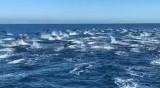 Зрелищно: Делфини на висока скорост с красиви подскоци
