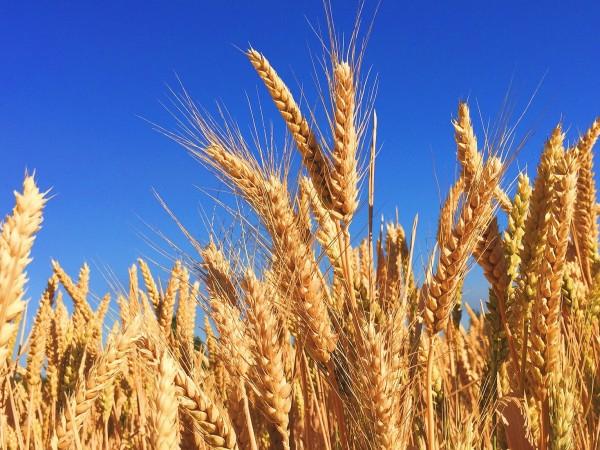 Големи загуби очакват зърнопроизводителите това лято след незапомнената суша в
