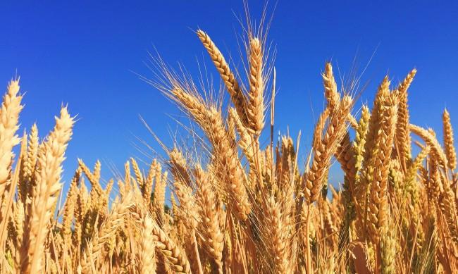 Слаба реколта от зърно, с над 100 кг по-малко от декар в сравнение с 2019 г.
