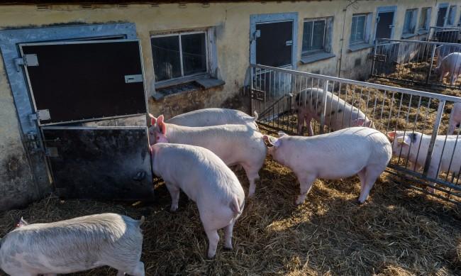Китай забрани свинското от Германия заради aфриканската чума
