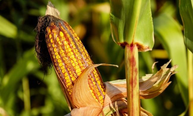 Във Великотърновско отчитат слаба реколта от царевица и слънчоглед