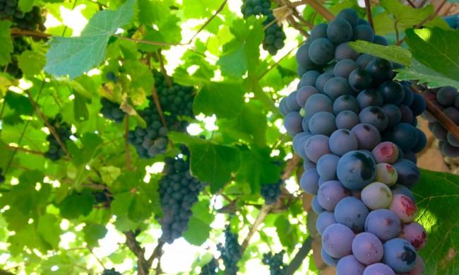 До 40% по-нисък е добивът на грозде в Североизточна България